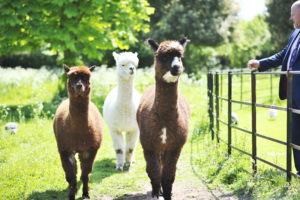 Country Living Alpacas